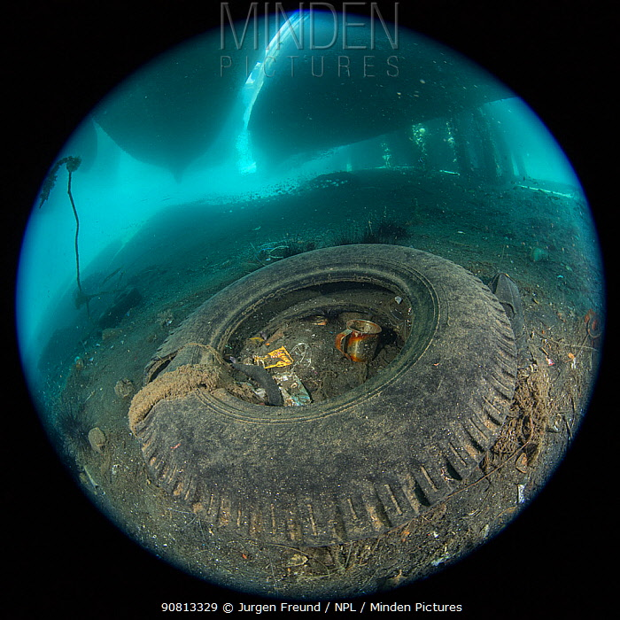 Moral eels, Urchins, Cuttlefish, Shrimp and other marine life living within a discarded tyre and fishing net under a ships' harbour, Maluku, Indonesia. November.