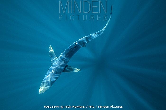 Overhead view of a blue shark (Prionace glauca) off Halifax, Nova Scotia, Canada. July.