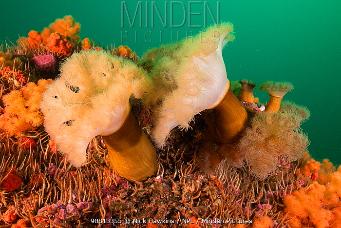 A group of frilled anemones (Metridium senile) and various invertebrates growing off Bonaventure Island in the Gulf of Saint Lawrence, Quebec, Canada. September.