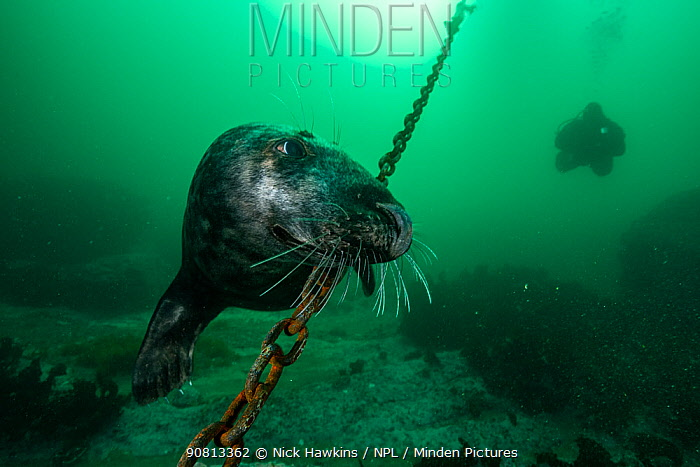 Grey seal (Halichoerus grypus) and diver off Bonaventure Island, Gulf of Saint Lawrence, Quebec, Canada. September.
