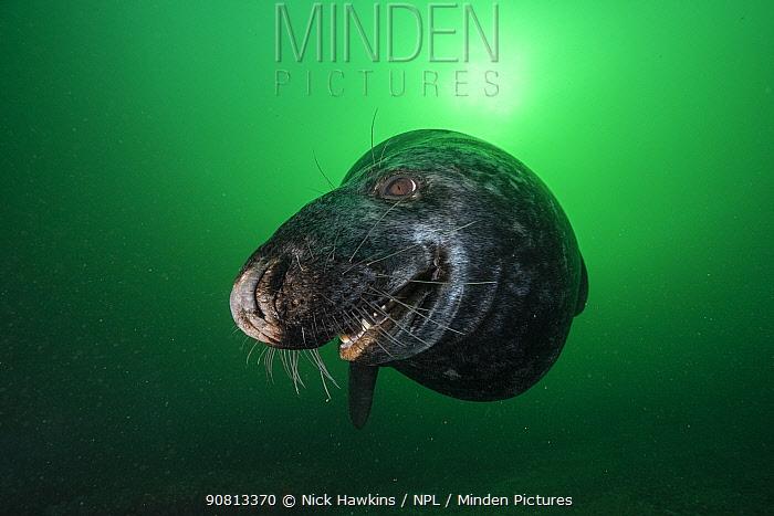 Grey seal (Halichoerus grypus) close up off Bonaventure Island, Gulf of Saint Lawrence, Quebec, Canada. September.