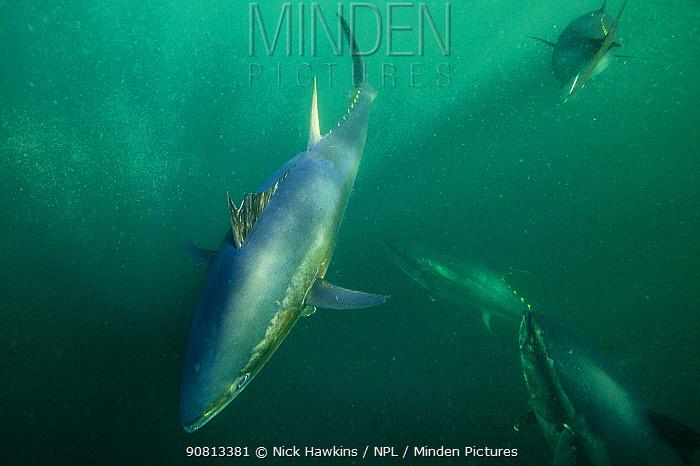Atlantic bluefin tuna (Thunnus thynnus) off Antigonish, Nova Scotia, Canada. October.
