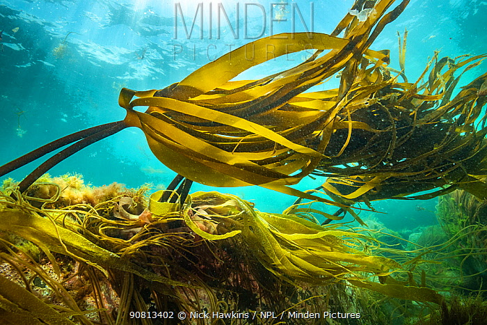 View of kelp forests (Laminaria digitata) off Nova Scotia, Canada. July.