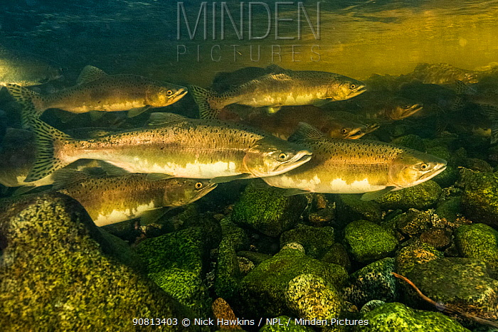 Pink salmon (Oncorhynchus gorbuscha) migrating up a river in the Great Bear Rainforest near Bella Bella, British Columbia, Canada. September