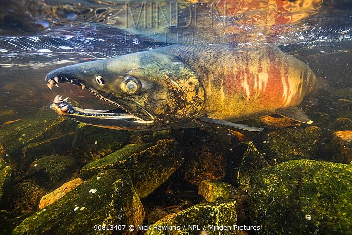 Chum salmon male (Oncorhynchus keta) migrating up a small river near Bella Bella, British Columbia, Canada. September.