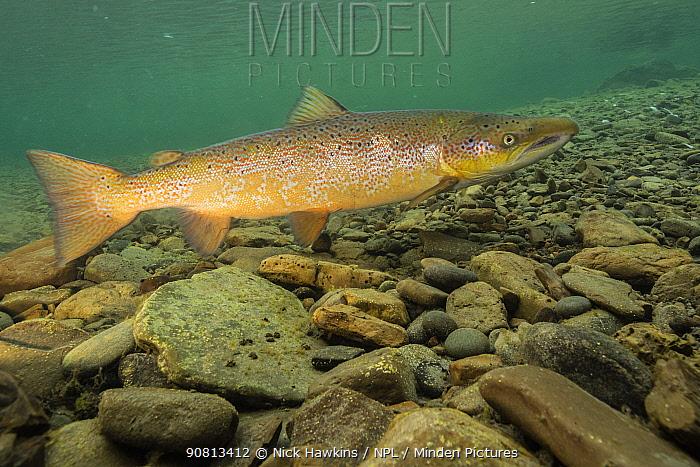 Atlantic salmon (Salmo salar) male over spawning gravel Quebec, Canada. October.