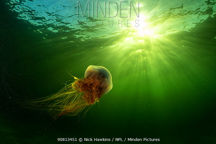 Lions mane jellyfish (Cyanea capillata) drifts in the current off Nova Scotia, Canada. July