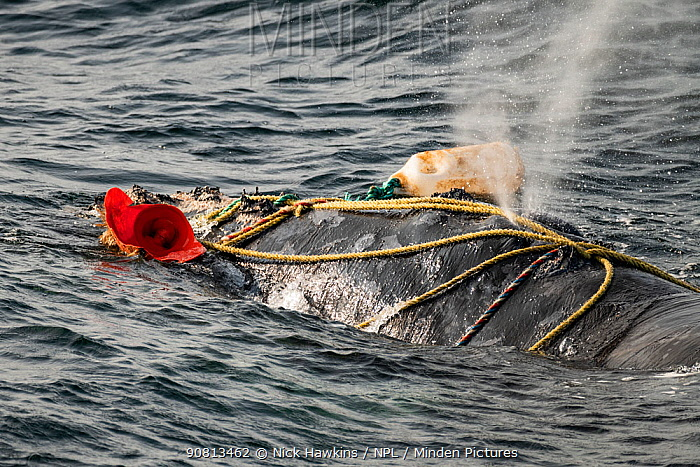 Fishing ropes wrap over the blowhole of a severely entangled North Atlantic right whale (Eubalaena glacialis) in the Gulf of Saint Lawrence, Canada. Fishing gear entanglement is a leading cause of death in North Atlantic right whales. IUCN Status: Endangered. July