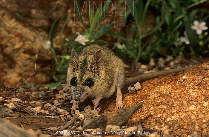 Stripe-faced dunnart (Sminthopsis macroura) Collier Range NP, Western Australia.