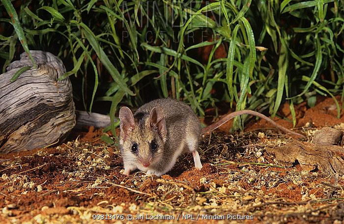 Little Long-tailed Dunnart (Sminthopsis dolichura) Toolonga Nature Reserve, Gascoyne Region, Western Australia.