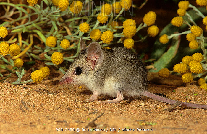 Little long-tailed dunnart (Sminthopsis dolichura) Useless Loop, Shark Bay, Western Australia - October.