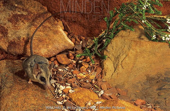 Long-tailed dunnart (Sminthopsis longicaudata) Lorna Glenn Conservation Park, Western Australia.
