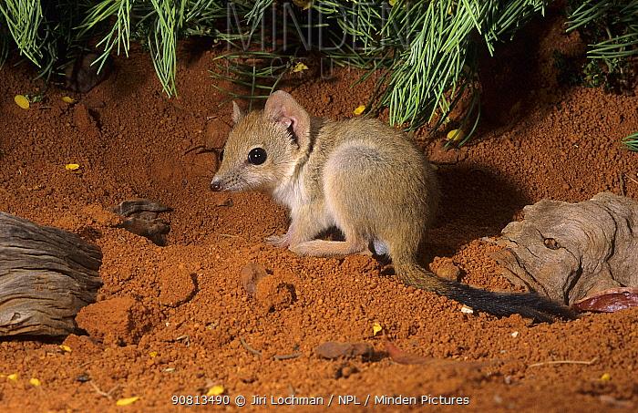 Brush-tailed mulgara (Dasycercus blythi) subadult, Canning Stock Route, Little Sandy Desert, Western Australia.