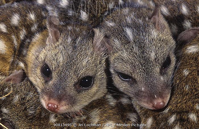 Western quoll (Dasyurus geoffroii) babies, Tone-Perup Nature Reserve, Western Australia.