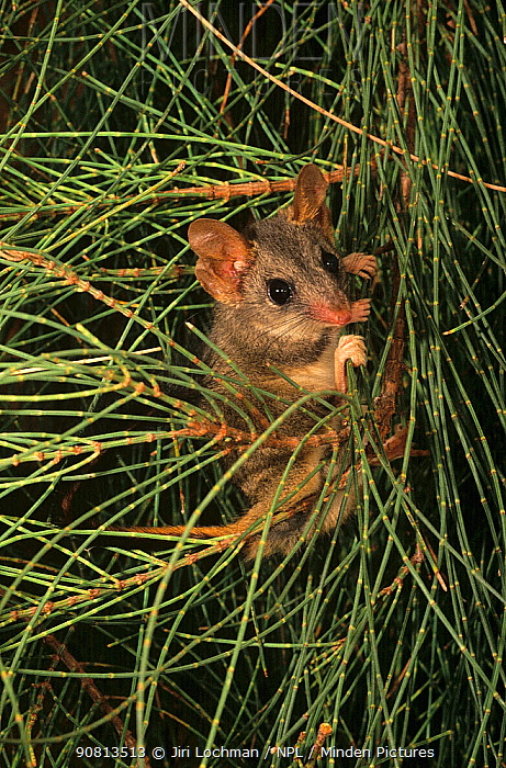 Red-tailed phascogale (Phascogale calura) Wheat-belt Region, Western Australia. Endangered species.