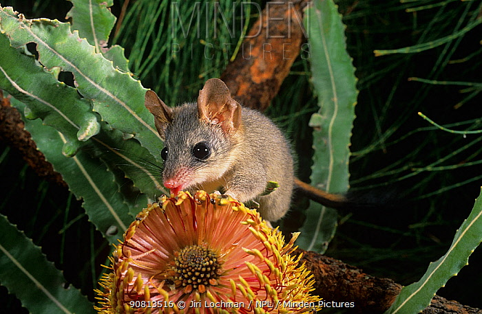 Red-tailed phascogale (Phascogale calura) feeding on a Banksia flower, Wheat-belt Region of Western Australia, Endangered species.