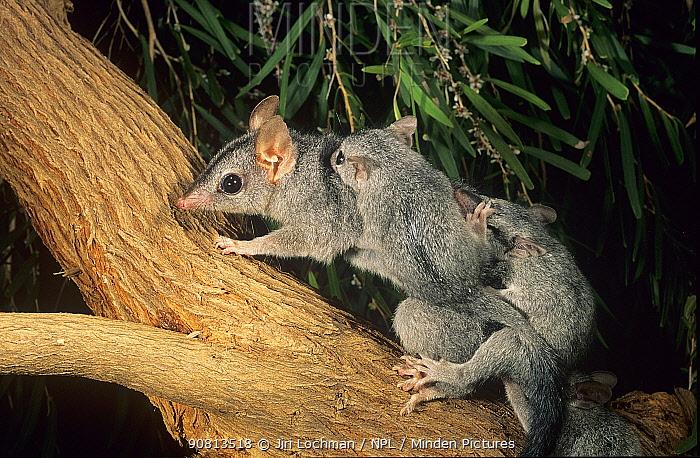 Brush-tailed phascogale (Phascogale tapoatafa) female with young, Kingston Forest, Western Australia.