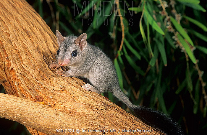 Brush-tailed phascogale (Phascogale tapoatafa) baby, Walpole-Nornalup NP, Western Australia.