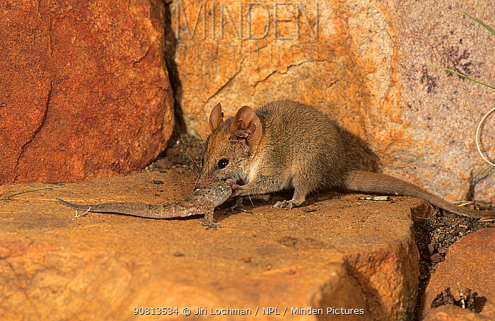 Ningbing pseudantechinus (Pseudantechinus ningbing) feeding on a gecko, Mornington Station, in the Kimberley, Western Australia.