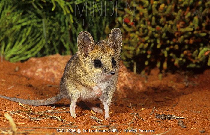 Fat-tailed dunnart (Sminthopsis crassicaudata) Goongarrie NP, Goldfields Region, Western Australia.