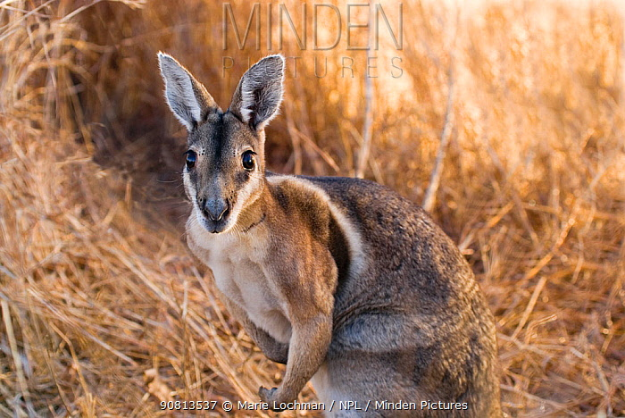 Bridled Nailtail Wallaby (Onychogalea fraenata) Idalia NP, Queensland, Australia. Critically endangered species.
