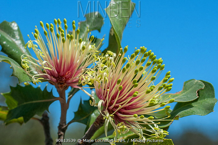 Holly-leaved banksia (Banksia ilicifolia), Western Australian endemic plant, Yeal Nature Reserve, Western Australia.