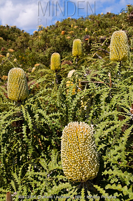 Showy Banksia (Banksia speciosa), Western Australian endemic plant, Cape Arid National Park, Western Australia.