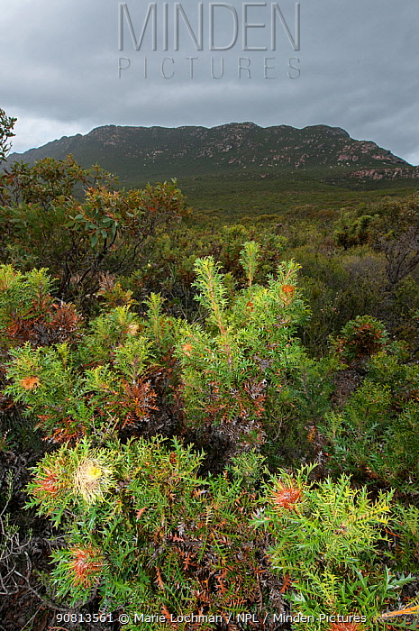Prickly dryandra (Banksia armata), Western Australian endemic plant, Western Australia, Mt. Ragged - Cape Arid National Park, Western Australia.