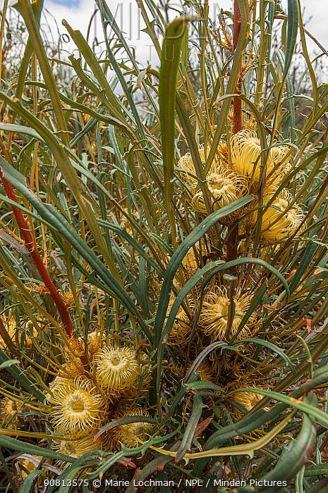 Dryandra (Banksia subpinnatifida), Western Australian endemic plant, Dryandra forest National Park, Western Australia.