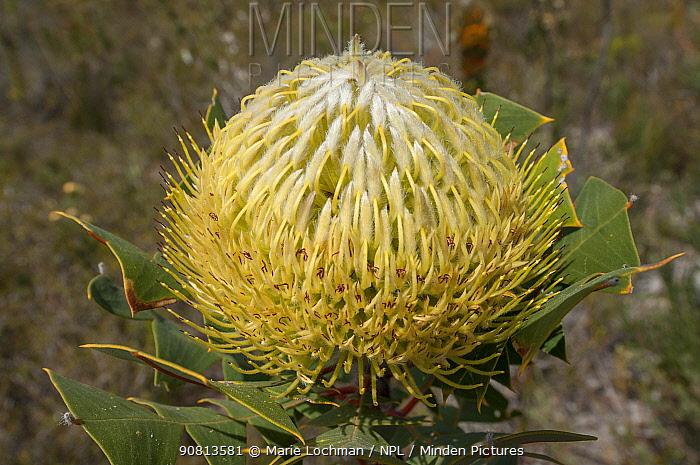 Baxter's Banksia (Banksia baxteri), Western Australian endemic plant, Western Australia, Fitzgerald River National Park, Western Australia.