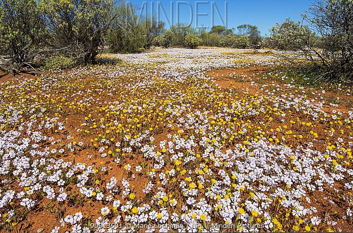 Biodiversity of flora- annuals- dominated by Pink Velleia (Velleia rosea), Western Australia, Midwest, Karara Rangelands , September 2018