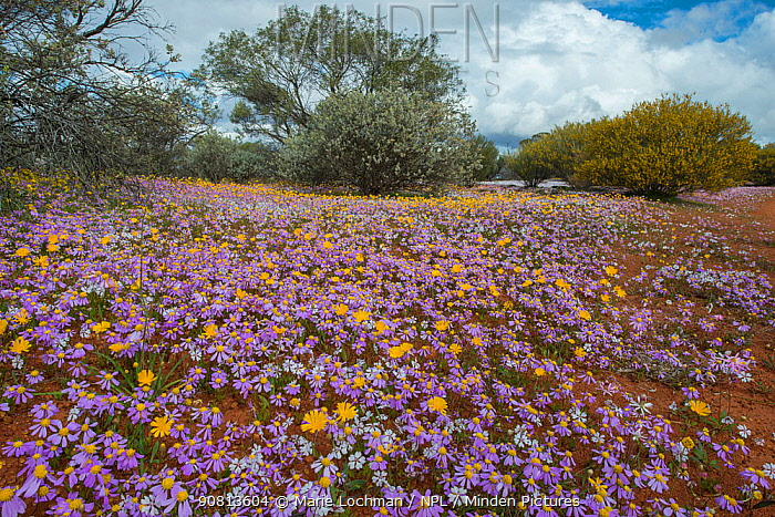 Biodiversity of flora - annuals dominated by Swan River Daisy (Brachysome iberidifolia) flowers, Western Australia, Midwest, Karara Rangelands , September 2018