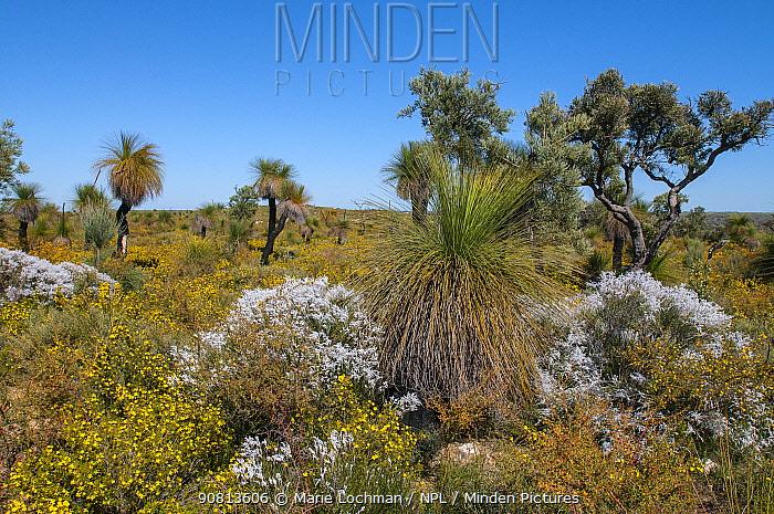 Biodiversity of flora in heath / Kwongan habitat with Grass trees, Western Australia, north of Perth, Yanchep National Park, Septemberr 2012