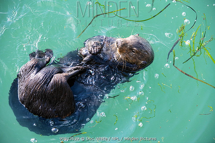 Sea Otter, (Enhydra lutris), young male, Elkhorn Slough, California, USA. January