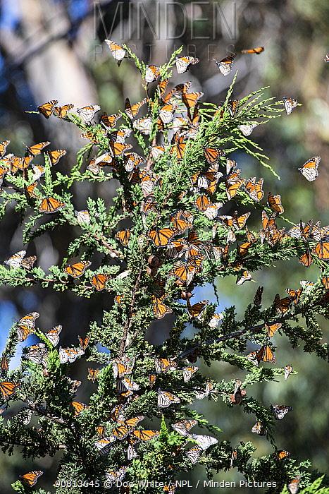 Monarch butterfly, (Danaus plexippus), migrating group resting in tree Pismo Beach, California, USA. January.