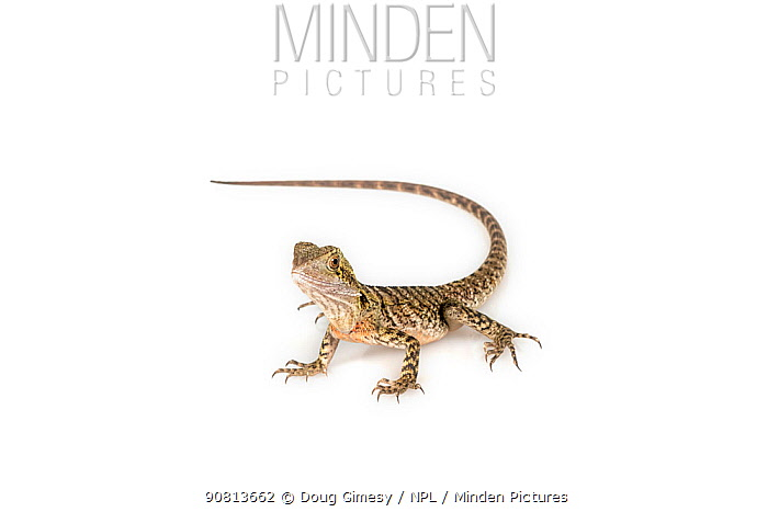 Portrait of a rescued Eastern Water Dragon, (Intellagama lesueurii lesueuri). Captive, rescued from wildlife smuggling.