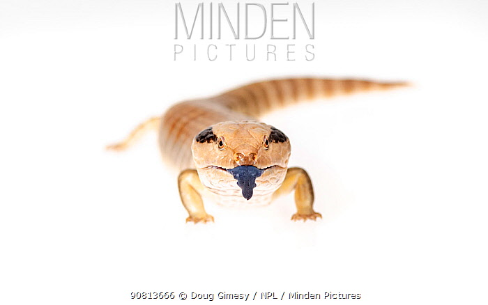 Portrait of a Western Blue-tongue skink (Tiliqua occipitalis). Captive, rescued from wildlife smuggling.