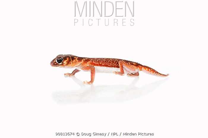 Portrait of a rescued Midline knob-tailed gecko (Nephrurus vertebralis), rescued from smuggling, Captive