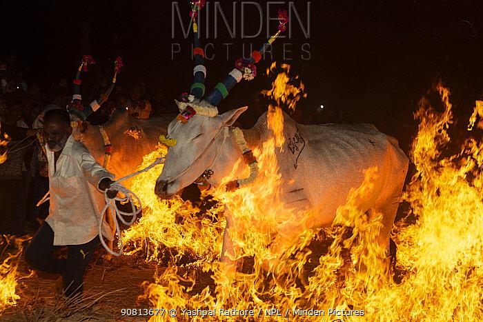 Bulls led by owner over a fire during a ritual at the Hindu festival of Makar Sankranti , Karnataka, India. January 2019.