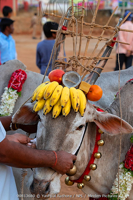 Bull with bananas and other decorations on head dress, ready to walk over burning hay to celebrate the Hindu festival Makar Sankranti. Karnataka, India, January 2019.