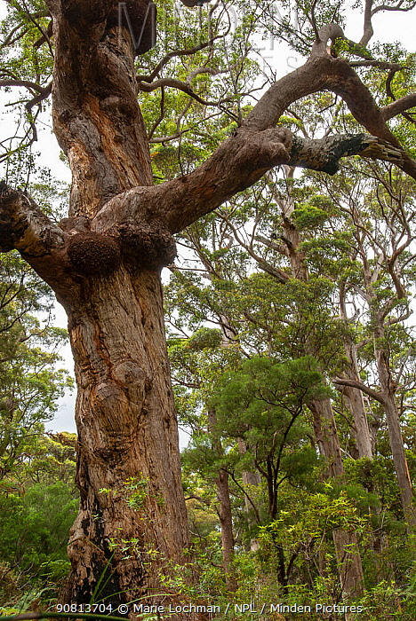 Red tingle tree (Eucalyptus jacksonii), Western Australian endemic plant, Walpole-Nornalup National Park, Western Australia.
