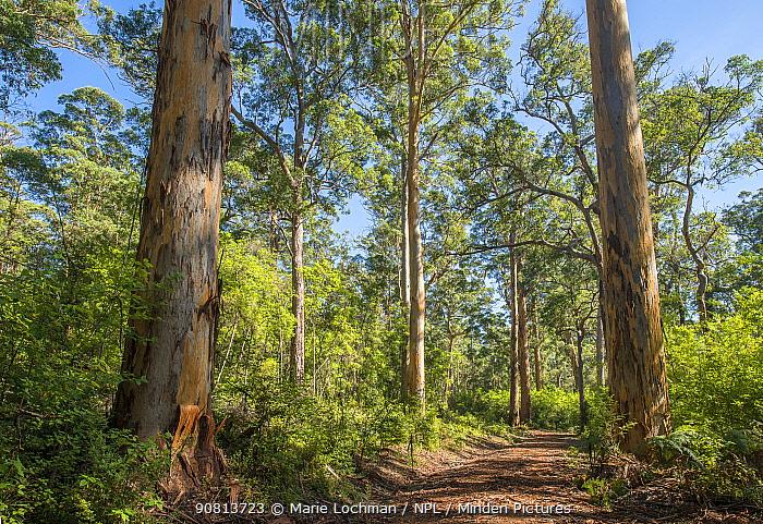 Karri (Eucalyptus diversicolor), third tallest tree in the world, Western Australian endemic plant, D'Entrecasteaux National Park, April 2017