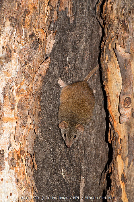 Yellow-footed Antechinus (Antechinus flavipes subsp. leucogaster) Dryandra Forest Nature Conservation Park, Western Australia.
