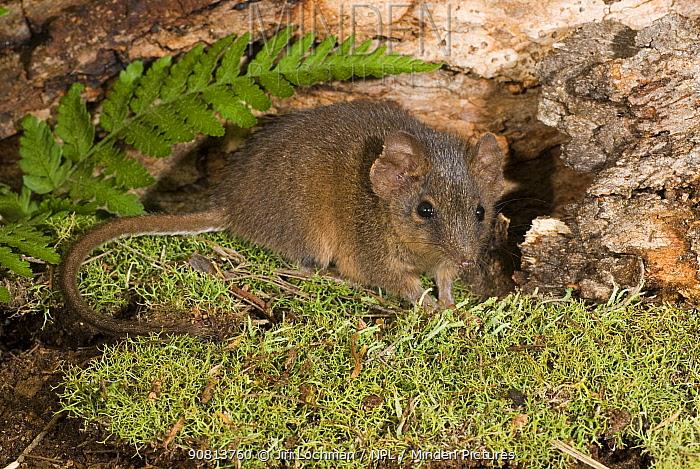Agile Antechinus (Antechinus agilis) Errinundra , Australia.