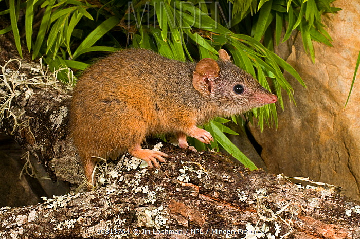 Yellow-footed antechinus (Antechinus flavipes subsp. flavipes) Chaelundi NP, New South Wales - September.