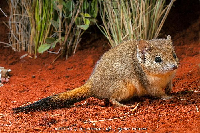 Brush-tailed mulgara (Dasycercus blythi) Little Sandy Desert, Western Australia.