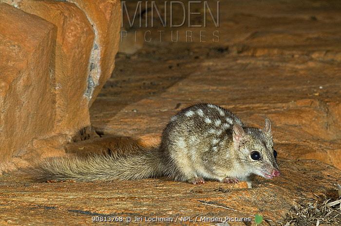 Northern Quoll / Little Native Cat (Dasyurus hallucatus) King Leoppold Ranges Conservation Park, Kimberley Region of Western Australia. Endangered species.