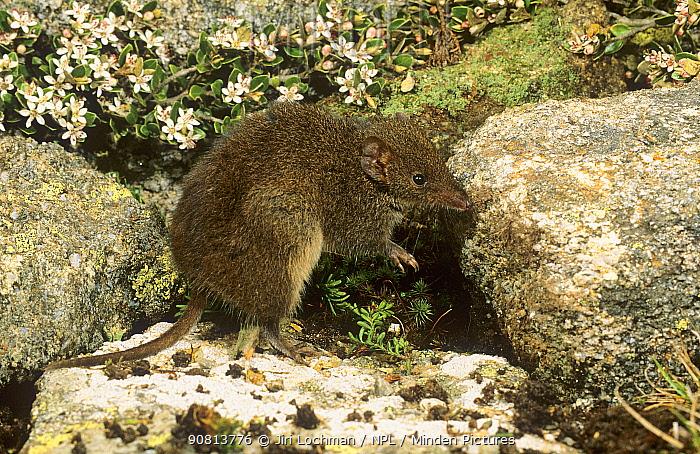 Dusky Antechinus (Antechinus swainsonii) Kosciuszko NP, New South Wales, Australia.
