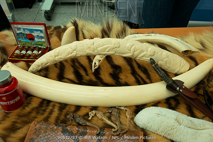 Confiscated elephant ivory products, tiger skin and seahorses, German Federal Nature Conservation Agency (BfN), with a display of other CITES protected wildlife products at Dusseldorf Airport, Germany. 26th June 2015