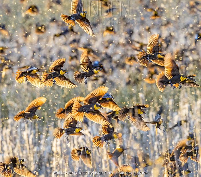 Yellow-headed blackbirds (Xanthocephalus xanthocephalus) and Redwing blackbirds (Agelaius phoeniceus) roosting. Whitewater Draw Wildlife Area, Arizona, USA, December.
